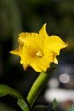 Желтая орхидея Стоковые Фото