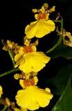 Желтая орхидея Стоковые Изображения