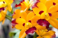 Желтая орхидея gigantea Rhynchostylis Стоковые Изображения