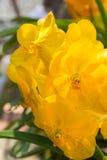 Желтая орхидея vanda Стоковая Фотография