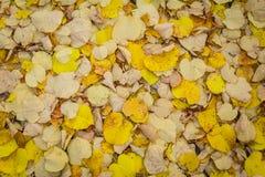 Желтая осенняя предпосылка листвы липы Стоковая Фотография RF