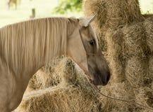 Желтая лошадь Стоковая Фотография