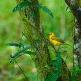 Желтая певчая птица Стоковые Фотографии RF