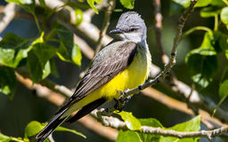 Желтая певчая птица Breasted Стоковое Фото