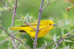 Желтая певчая птица (petechia Setophaga) на ветви дерева стоковое изображение rf