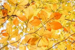Желтая предпосылка лист осени стоковые изображения rf