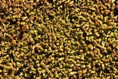 Желтая предпосылка лишайника на утесе Стоковое фото RF