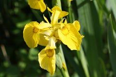 Желтая предпосылка орхидеи Стоковая Фотография RF