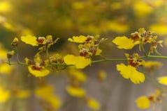 Желтая предпосылка свежего цветка орхидеи Стоковые Фото