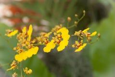 Желтая предпосылка свежего цветка орхидеи Стоковая Фотография RF