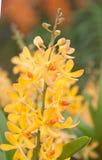 Желтая предпосылка свежего цветка орхидеи Стоковая Фотография