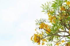 Желтая предпосылка цветения цветка tabebuia Стоковые Фото