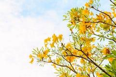 Желтая предпосылка цветения цветка tabebuia Стоковая Фотография RF
