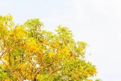 Желтая предпосылка цветения цветка tabebuia Стоковые Фотографии RF