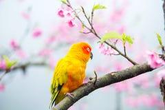 Желтая птица ары на розовом дереве Сакуры Стоковая Фотография
