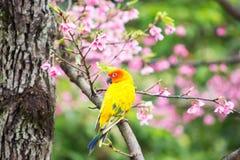 Желтая птица ары на розовом дереве Сакуры Стоковые Фотографии RF