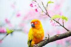 Желтая птица ары на розовом дереве Сакуры Стоковое Изображение