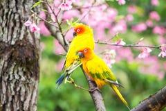 Желтая птица ары на розовом дереве Сакуры Стоковая Фотография RF