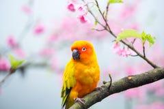 Желтая птица ары на розовом дереве Сакуры Стоковые Изображения