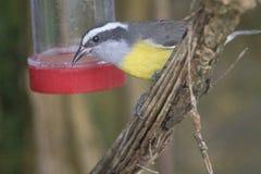 Желтая птица болтовни Breasted Стоковые Изображения RF