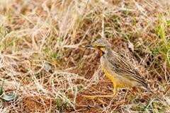 Желтая птица интересуя около Стоковое Изображение