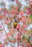 Желтая птица на розовой ветви вишневого цвета Стоковые Изображения RF
