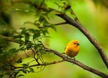 Желтая птица стоковые фотографии rf