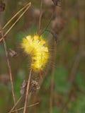 Желтая пушистая гусеница Стоковое фото RF