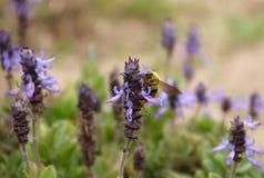 Желтая пчела Стоковые Фотографии RF