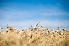 Желтая пшеница Стоковые Изображения RF