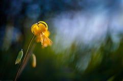 Желтая Пыжик-лилия Стоковые Фотографии RF