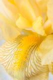 Желтая радужка Стоковая Фотография
