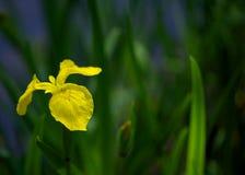 Желтая радужка Стоковое Фото