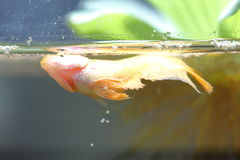 Желтая рыба бизона выпускает яичка Стоковые Фотографии RF