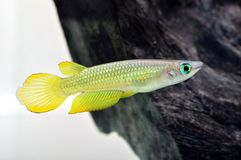 Желтая рыба Killi стоковые изображения rf