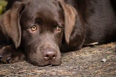 Желтая собака labrador на посылке Стоковое Изображение