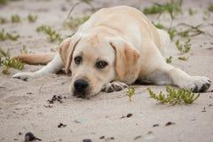 Желтая собака labrador на посылке Стоковое Фото