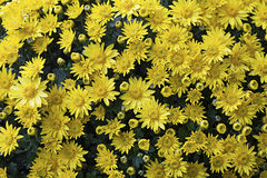 Желтая славная маргаритка на предпосылке Стоковые Фотографии RF