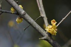 Желтая слива blossoming на ветви Стоковые Изображения RF
