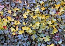 Желтая текстура плюща Стоковые Изображения RF