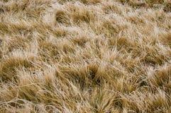 Желтая текстура травы Стоковая Фотография RF