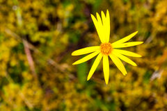 Желтая тема цветка Стоковая Фотография RF