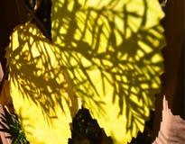 Желтая тень солнечного света листьев осени делает по образцу иглы сосны Стоковые Фото
