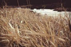Желтая трава Стоковая Фотография RF
