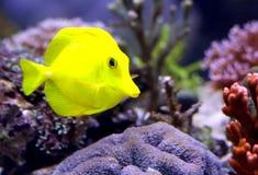 Желтая тропическая рыба та плавает в аквариуме Стоковое Изображение RF