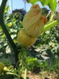 Желтая тыква малая Стоковое Фото