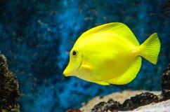 Желтая тянь Стоковая Фотография