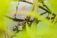 Желтая ушастая черепаха слайдера засовывает его голову вверх от спокойного озера Стоковая Фотография