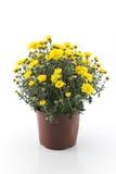 Желтая хризантема в горшке Стоковая Фотография