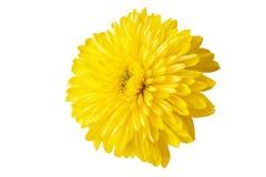 Желтая хризантема на белой предпосылке Стоковые Фотографии RF